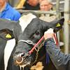 Carlisle Dairy Bulls 5476