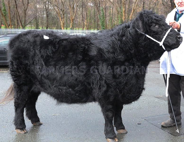 """Photo: Arvid Parry Jones.   ( Pic 5 )<br /> Welsh Black Cattle Society 58th Annual Winter Show & Sale at Farmers Marts ( R. G. Jones ) Ltd Llys Meirion, Dolgellau, Gwynedd.  Champion Female """" Rafon Bet 11th """" born 14-8-2010 from Richard Hughes Glanrafon, Bodorgan, Anglesey."""
