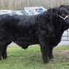 """Photo: Arvid Parry Jones.   ( Pic 2 )<br /> Welsh Black Cattle Society 58th Annual Winter Show & Sale at Farmers Marts ( R. G. Jones ) Ltd Llys Meirion, Dolgellau, Gwynedd.  Highest price animal of Show & Sale """" Gwern-Cynyddion Nathan 22nd """" bull, born 9-5-2012  from Robert John Evans Gwern Caernyddion, Llanbedr, Gwynedd sold for 7200Gns to Hugh Williams ( Rhydygarnedd- Prefix/ herd name ) Dolau Gwyn Tywyn, Gwynedd."""