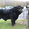 """Photo: Arvid Parry Jones.   ( Pic 1 )<br /> Welsh Black Cattle Society 58th Annual Winter Show & Sale at Farmers Marts ( R. G. Jones ) Ltd Llys Meirion, Dolgellau, Gwynedd.  Highest price animal of Show & Sale """" Gwern-Cynyddion Nathan 22nd """" bull, born 9-5-2012 with Medwyn Evans from Robert John Evans Gwern Caernyddion, Llanbedr, Gwynedd sold for 7200Gns to Hugh Williams ( Rhydygarnedd- Prefix/ herd name ) Dolau Gwyn Tywyn, Gwynedd."""