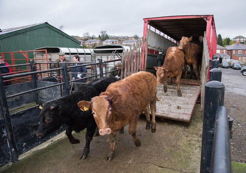 Leyburn Livestock Auction Mart unloading cattle.