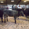 Judging the New Year Prize Show and Sale of Store Cattle and feeding Bulls at Leyburn mart.