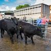 Unloading Limousin x Welsh Black cattle.