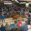 Part of a consignment of 20 14-24 months old Limousin crosses from G. and E. Jones of  Garth Bigau, Nant y Rhiw, Llanrwst.