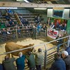 The first in the ring, a 26 months old Limousin cross from S. Roberts of Tyddyn Hen, Sarn, Pwllheli, Gwynedd sold for £1,380.