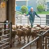Unloading lambs.