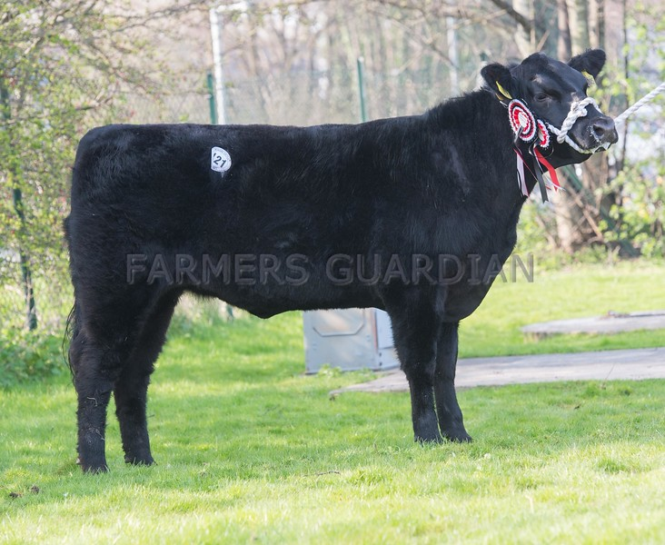 Aberdeen Angus St. Fort Primula Mary from A. Mylius and Partners sold for 1,700 gns.<br /> Lot 121.