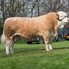 Simmental Williams Draco from Mrs. H. Clarke sold for 4,000 gns.<br /> Lot 50.