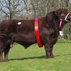 The Lincoln Red champion, Brackenhurst Ranger from Nottingham Trent University sold, for 5,500 gns.<br /> Lot 9.