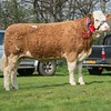 Simmental Midhope Cherry from W. J. Hollingsworth sold for 3,300 gns.<br /> Lot 148.
