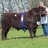 The reserve Lincoln Red champion, Beverley Regal from R. I. Clough and Son, sold for 5,500 gns.<br /> Lot 14.