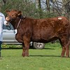 The Lincoln Red female champion, Auchmacoy Ada from Mrs. S. Buchan sold for 1,900 gns.<br /> Lot 65.