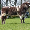 Beef Shorthorn Meonhill Fort Winsome from L.E.P. Farms sold for 6,200 gns. <br /> Lot 46.