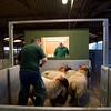 Northallerton Christmas Fatstock Show 2014, weighing lambs
