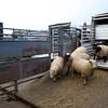 Northallerton Christmas Fatstock show, Drovers unloading Sheep