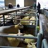 Northallerton Christmas Fatstock Show 2014, Judging Lambs, Judge Mr Mick Etherington, Bingley, Steward Mrs Helen Grainger Northallerton Mart Fieldsperson