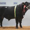 "Thainstone Spring Show  14. Lot 86 Aberdeen Angus Champion Bull ""Ballindalloch Panda"" from Ballindalloch Home Farms."