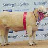 Stirling Charolais female champ