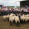 Thame Summer Sheep Fair 2014<br /> Pen of Suffolk's sold for £124.00 per head<br /> Picture Tim Scrivener 07850 303986