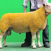 Charollais Sheep Worcester Premier Sale 2014<br /> Lot 27 Aberkinsey Nutcracker owned by Mr M O Jones sold for 2600gns<br /> Picture Tim Scrivener 07850 303986