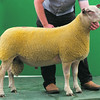 Charollais Sheep Worcester Premier Sale 2014<br /> Lot 97 Loanhead Odds On owned by Messors Gregor & Bruce Ingram sold for 2600gns<br /> Picture Tim Scrivener 07850 303986