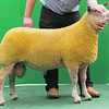 Charollais Sheep Worcester Premier Sale 2014<br /> Lot 95 Overall Champion WNC Loanhead owned by Messrs Gregor & Bruce Ingram sold for 3200gns<br /> Picture Tim Scrivener 07850 303986
