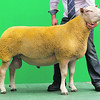 Charollais Sheep Worcester Premier Sale 2014<br /> Lot 26 Aberkinsey Nuclear Power owned by Mr M O Jones <br /> sold for 4000gns<br /> Picture Tim Scrivener 07850 303986