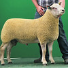 Charollais Sheep Worcester Premier Sale 2014<br /> Lot 60 Glyn Coch Olympus owned by Mr Adrian Mansel Davies sold for 2650gns<br /> Picture Tim Scrivener 07850 303986