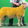 Charollais Sheep Worcester Premier Sale 2014<br /> Lot 224 Aberkinsey Optimun owned by Mr Mo O Jones sold for 4200gns<br /> Picture Tim Scrivener 07850 303986