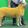 Charollais Sheep Worcester Premier Sale 2014<br /> Lot 213 Wenfawr OMG owned by DE & MJ Smith sold for 3200gns<br /> Picture Tim Scrivener 07850 303986