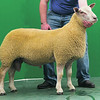 Charollais Sheep Worcester Premier Sale 2014<br /> Lot 154 Buckland Oberon owned by Nr & Mrs M J Alford sold for 2800gns<br /> Picture Tim Scrivener 07850 303986