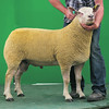 Charollais Sheep Worcester Premier Sale 2014<br /> Lot 58 Glyn Couch Ogi Ogi Ogi owned by Mr Adrian Mansel Davies sold for 2000gns<br /> Picture Tim Scrivener 07850 303986