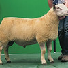 Charollais Sheep Worcester Premier Sale 2014<br /> Lot 162 Pargate One & Only owned by F H & M Kennedy sold for 2500gns<br /> Picture Tim Scrivener 07850 303986