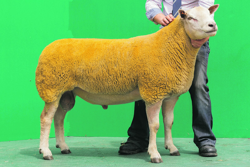 Charollais Sheep Worcester Premier Sale 2014<br /> Lot 25 Aberkinsey Number 1 owned by Mr M O Jones sold for 4200gns<br /> Picture Tim Scrivener 07850 303986