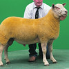 Charollais Sheep Worcester Premier Sale 2014<br /> Lot 108 Castellau One in a Million owned by Mr T L Prichard sold for 4300gns<br /> Picture Tim Scrivener 07850 303986