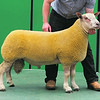 Charollais Sheep Worcester Premier Sale 2014<br /> Lot 141 Logie Durno Obama owned by Mr William & Mrs Carole Ingram sold for 3100gns<br /> Picture Tim Scrivener 07850 303986