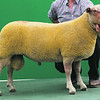 Charollais Sheep Worcester Premier Sale 2014<br /> Lot 96 Loanhead One and Only owned by Messrs Gregor & Bruce Ingram sold for 3100gns<br /> Picture Tim Scrivener 07850 303986