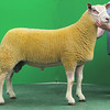 Charollais Sheep Worcester Premier Sale 2014<br /> Lot 118 Arbryn Olazabai owned by Mr P A Thomas sold for 3100gns<br /> Picture Tim Scrivener 07850 303986