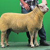 Charollais Sheep Worcester Premier Sale 2014<br /> Lot 56 Glyn Coch One & Only owned by Mr Adrian Mansel Davies sold for 2100gns<br /> Picture Tim Scrivener 07850 303986