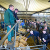 Auctioneer Peter Oven selling fat lambs.