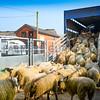 Loading up, transport, livestock, sheep, auction mart,