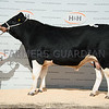 Reserve Friesian champion of the day Nerewater Launcher Phyl from R.W. and J.Bell sold for £5,000.