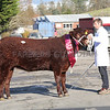 FEMALE CHAMPION FROM FARMSTOCK GENETICS OVER WHITLAW FARM LINDEAN SELKIRK