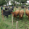 Dunlouise Aberdeen Angus Sale 26th June, Kingston Farm, Kingsmuir, Forfar,