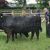 Dunlouise Aberdeen Angus Sale 26th June, Kingston Farm, Kingsmuir, Forfar, Wendy and Stuart Hunter seen dressing