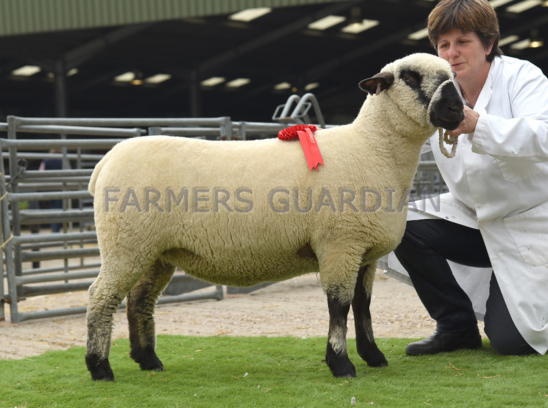 Hamps shearling ewe