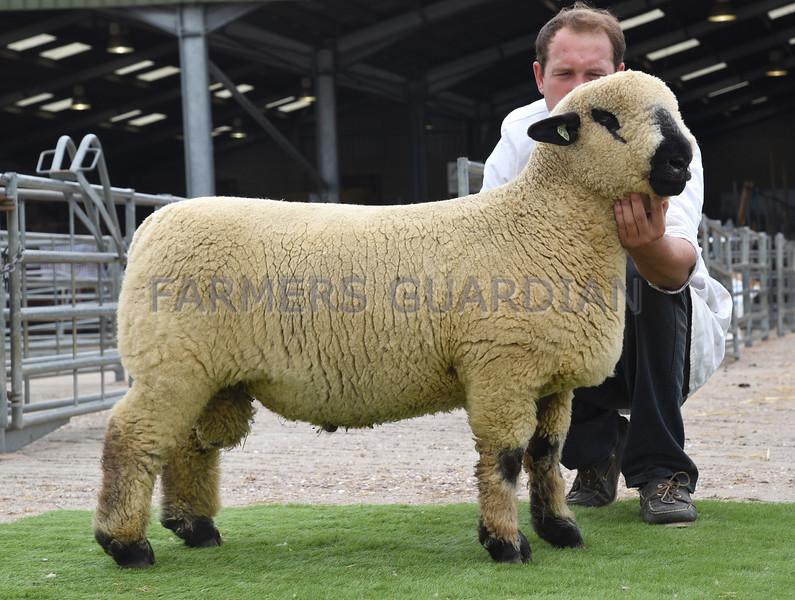 Hamps Ram Lamb