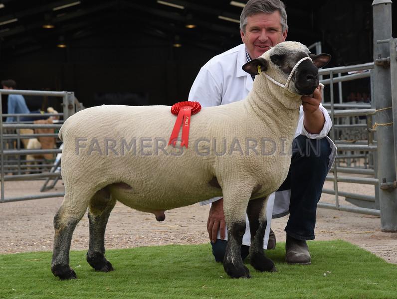 Hamps shorn ram lamb
