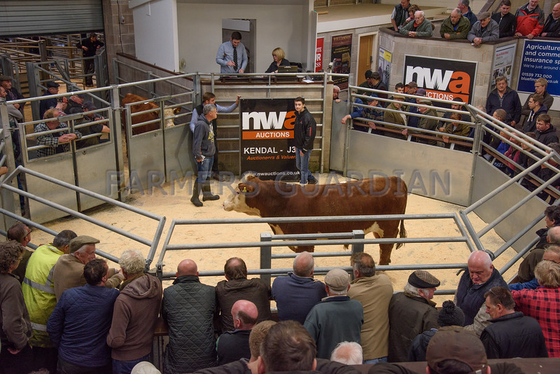 One of the Hereford bulls from N. and H. Cummings sold for £1,300.