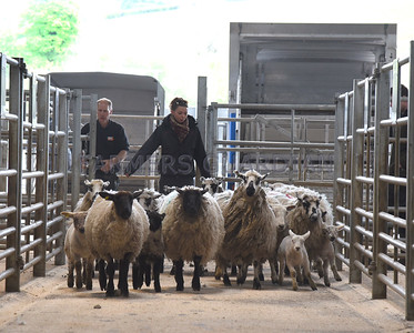 J36 Kendal Hoggs with Lambs Show & Sale May 2017